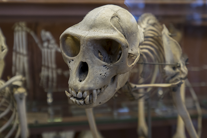 Monkey skeleton