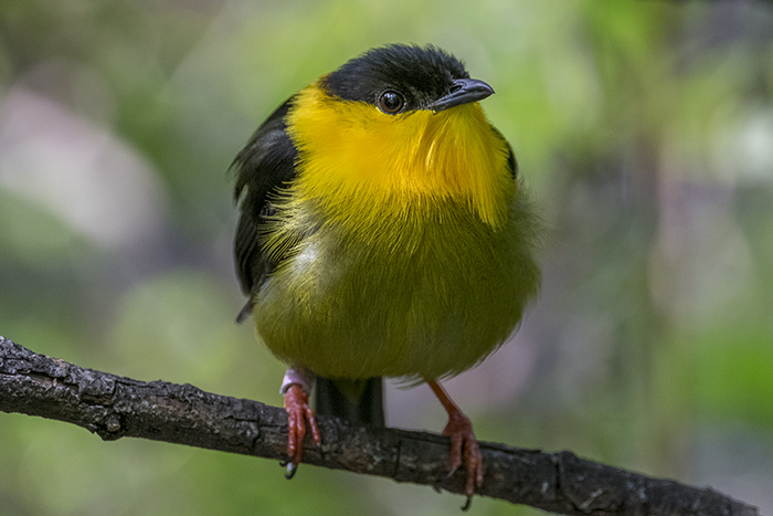 Golden collared manakin