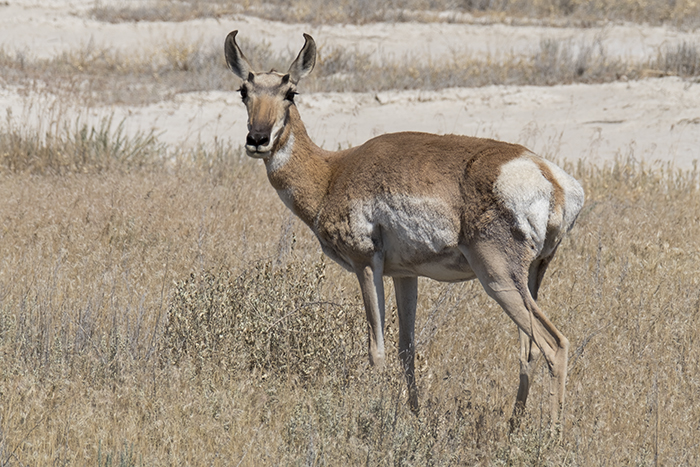 Female pronghorn antelope