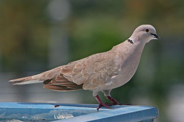 African collared dove vs eurasian collared dove - photo#8