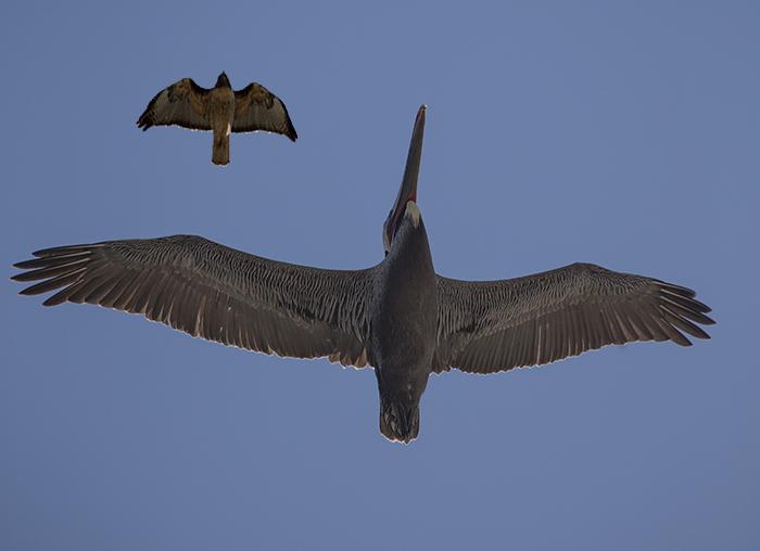 Hawk Pelican