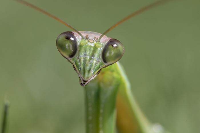 Praying Mantis face 3