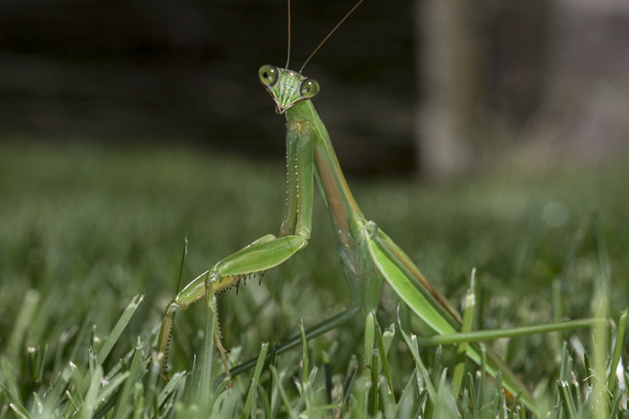 Praying Mantis in grass 2