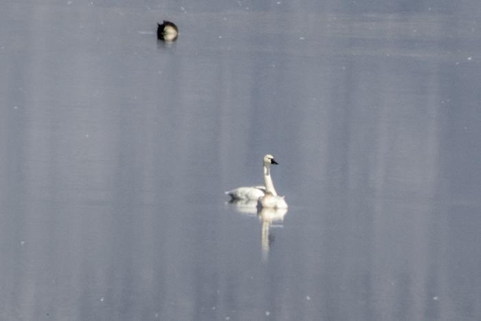 Tundra swan2