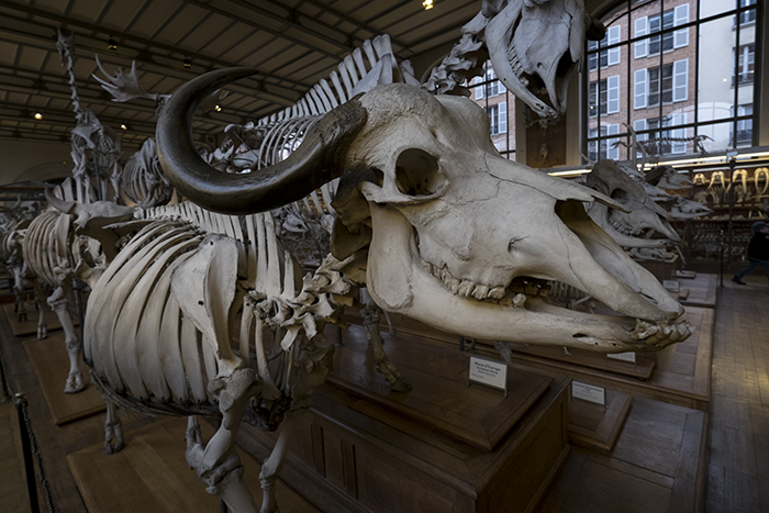 Buffalo skeleton
