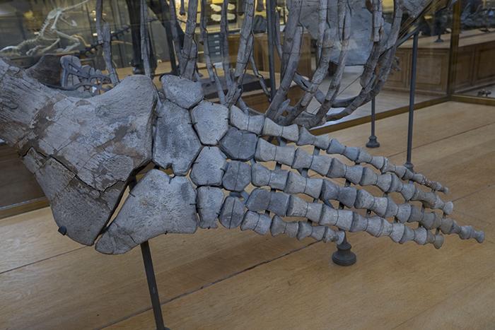 Plesiosaurus limb