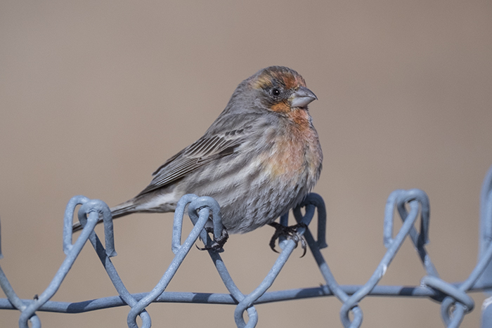 House Finch orange