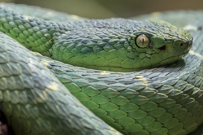 Rowleys Palm Pit Viper