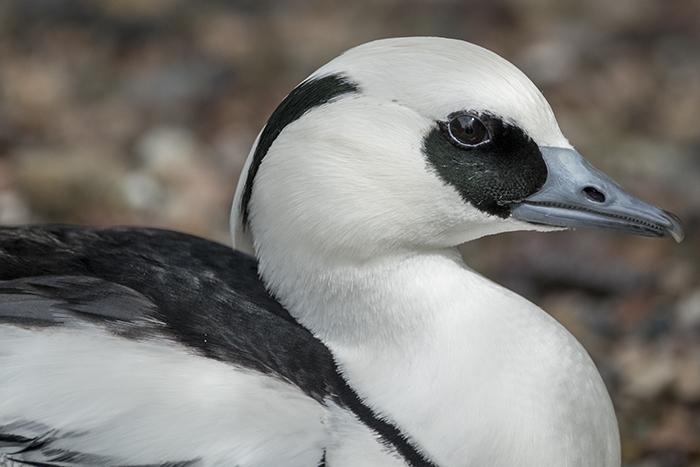 arctic Duck