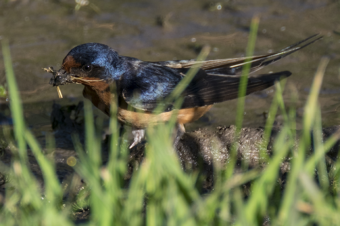 Barn swallow getting mud