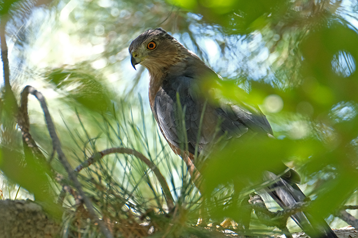 Coopers Hawk backyard