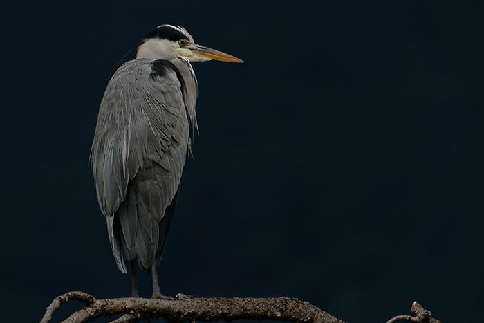 grey-heron-takaragaike