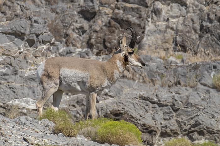 Pronghorn antelope3