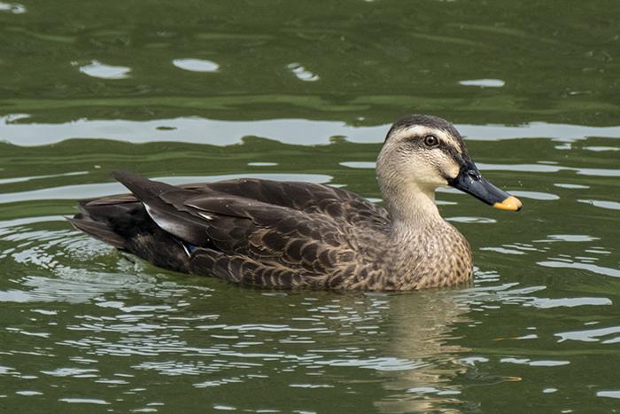 eastern-spot-billed-duck