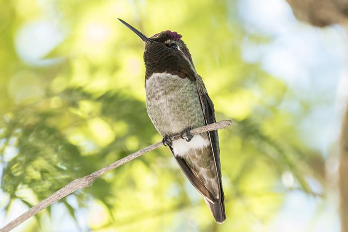 annas-hummingbird3_